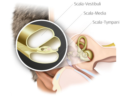 The scala vestibuli, scala media, and scala tympani are within the cochlea.