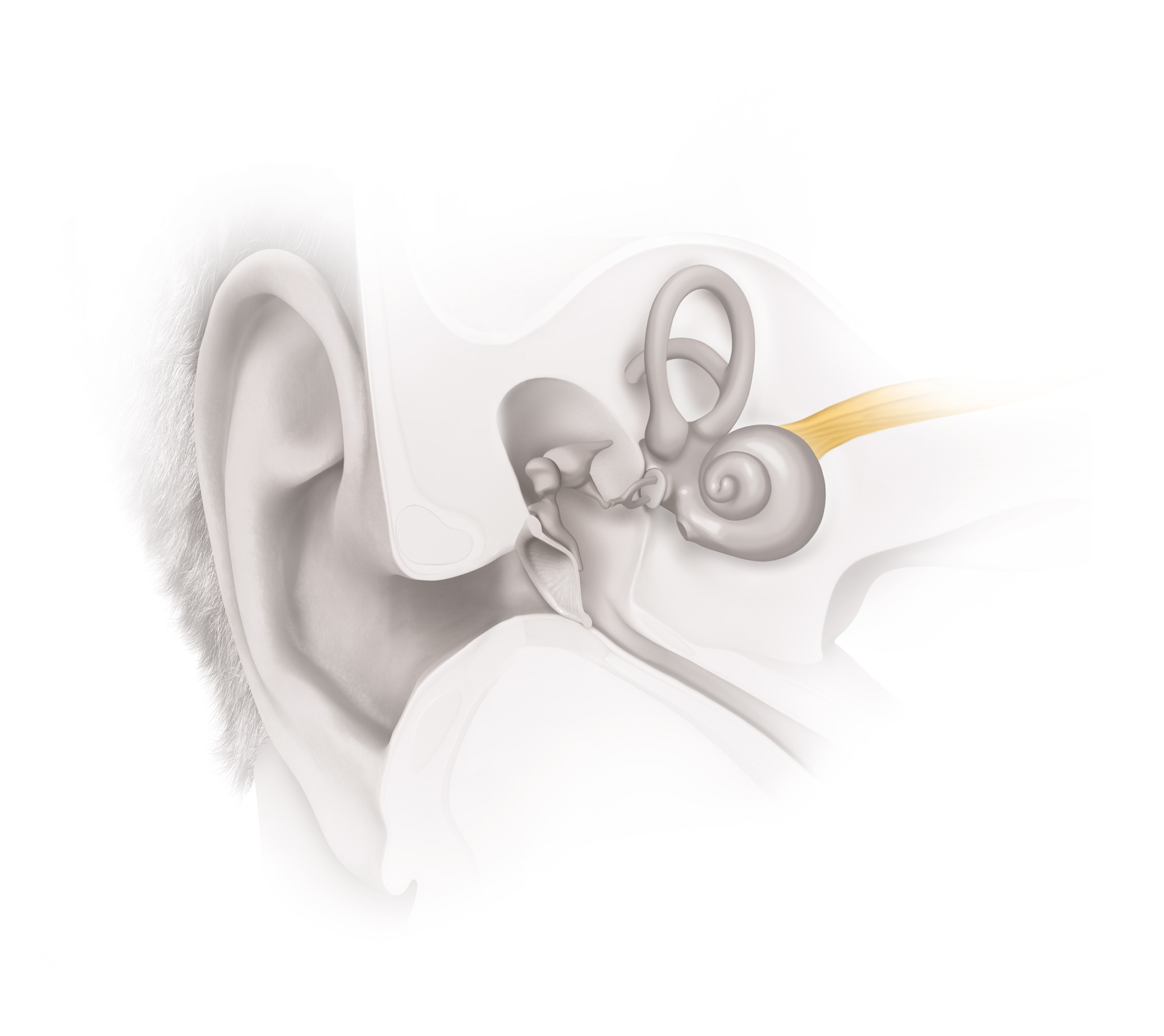 Auditory Brainstem Illustration