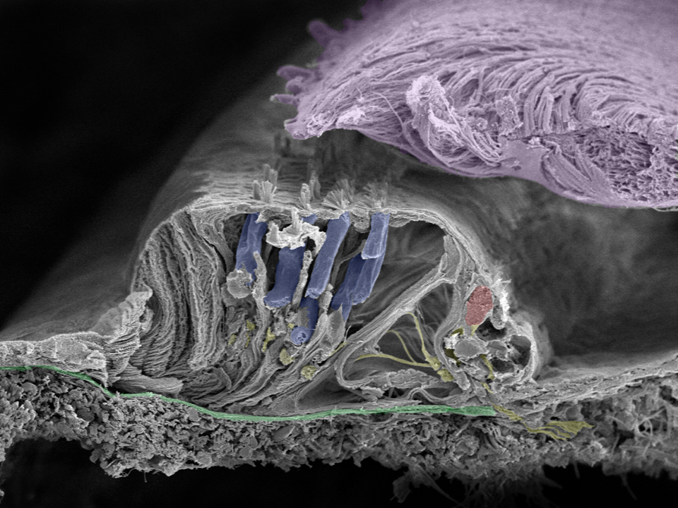 Organ of corti, basilar membrane, and hair cells in cochlea