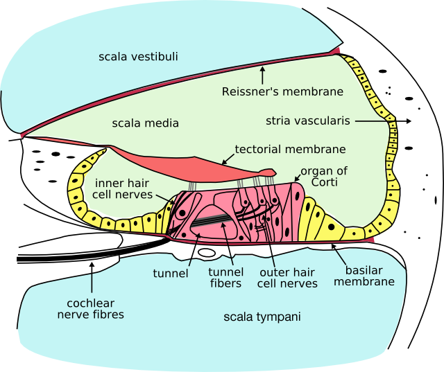 Scala tympani Creator: Oarih https://commons.wikimedia.org/wiki/File:Cochlea-crosssection.png